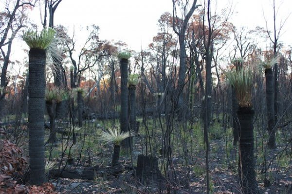Grass Trees Post-fire Flowering_sml